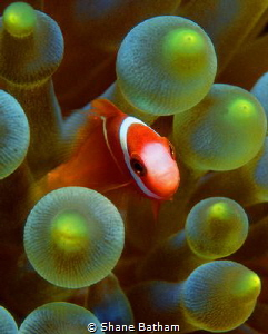 Juvenile anemone fish by Shane Batham