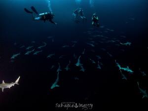 Blue Hole Divers Surprise.   Atlantic Sharp Nose Sharks by Jan Morton