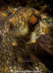 who's watching me now.......... Octopus close up - Franc... by Claudia Weber-Gebert