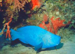Parrotfish in the Bahamas by Kelly N. Saunders