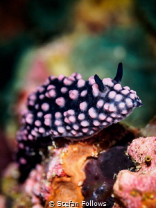 Common as Muck. Varicose Wart Slug - Phyllidiella nigra. ... by Stefan Follows