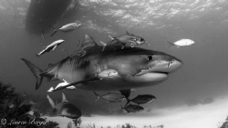 """Entourage"". Jacks, Remoras and an undercover Lemon shark... by Lauren Berger"