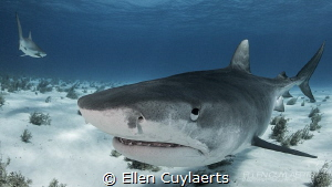 Tiger Shark close encounters are the best by Ellen Cuylaerts