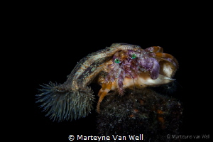 Anemone Hermit Crab during a night dive at Lembeh Resort'... by Marteyne Van Well