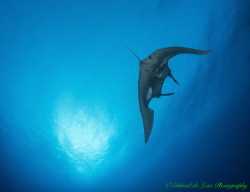 Manta swims into the sun in the Red sea by Gabriel De Leon Jr
