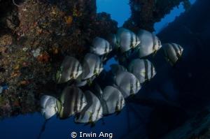 O R G A N I Z E Orbicular batfish (Platax orbicularis) ... by Irwin Ang