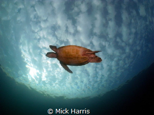 My flying turtle taken at Heron Island. by Mick Harris