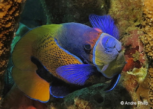 """Shy Model"" - Portrait of a Blue-Girdled Angelfish by Andre Philip"