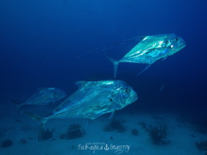 Three Large African Pompano - Silver fish are a real chal... by Jan Morton