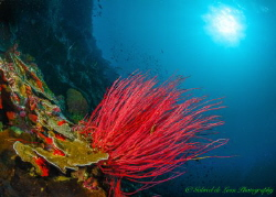 """""""Whip Coral"""" At depths most colors are muted especially ... by Gabriel De Leon Jr"""