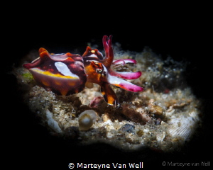 A juvenile flamboyant cuttlefish (taken with snoot, 100mm... by Marteyne Van Well