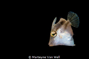 Juvenile filefish by Marteyne Van Well