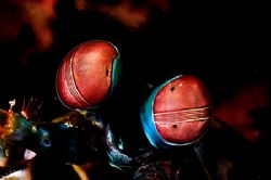 Hey,(Bob) that flash is burning my eyes! Mantis Shrimp. ... by Rand Mcmeins