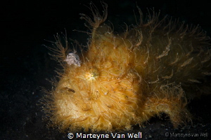 Hairy Frogfish by Marteyne Van Well
