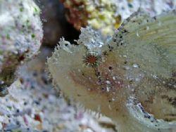 Time to Molt? Leaf Scorpionfish -Kailua Kona, Hawaii. Sa... by Michele Jarvis