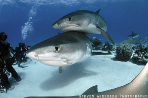 Tiger Shark Love and Cuddles at Tiger Beach - Bahamas by Steven Anderson