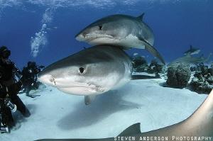 Tiger Shark Love and Cuddles at Tiger Beach - Bahamas by Steven Anderson