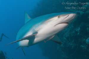 Caribbean Reef Shark, Gardens of the Queen, Cuba by Alejandro Topete