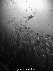 The Way Way Up. Chevron Barracuda - Sphyraena qenie. Sail... by Stefan Follows