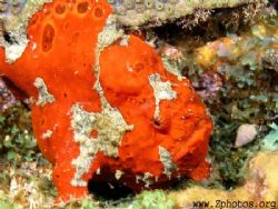 The divemaster spotted this longlure frogfish. The white ... by Zaid Fadul