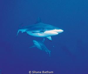 Feeding time, grey reef shark and silver tip by Shane Batham