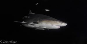"""Ebony dreams"". I met this curious and sweet Lemon shark ... by Lauren Berger"