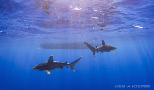 Oceanic Whitetips patrol near the dive boat in the settin... by Ken Kiefer