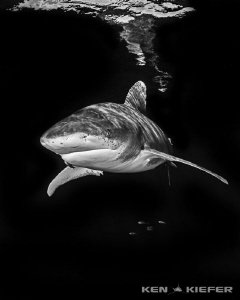 Oceanic Whitetip with tiny buddies by Ken Kiefer