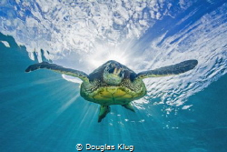 Out of the Light. A green turtle dives from the sunburst ... by Douglas Klug