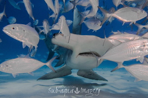 Great Hammerhead breaking the Shoal. by Jan Morton
