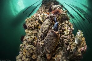Eriphia verrucosa (Thau lagoon oyster farm) by Mathieu Foulquié