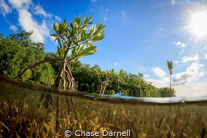 """""""Sanctuary"""" A young Mangrove Plant breaks the surface. by Chase Darnell"""
