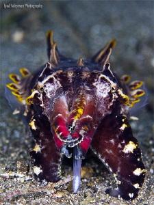 Flamboyant Cuttlefish by Iyad Suleyman