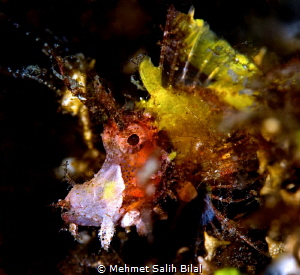 Filamentosa scorpionfish. One of rare species. by Mehmet Salih Bilal
