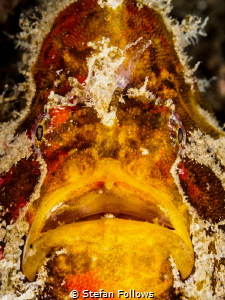 Old Man. Frogfish - Antennarius sp. Chaloklum, Thailand-E... by Stefan Follows