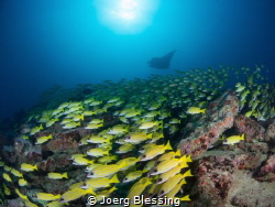 """""""The yellow block"""" a manta cleaning station with lots of ... by Joerg Blessing"""