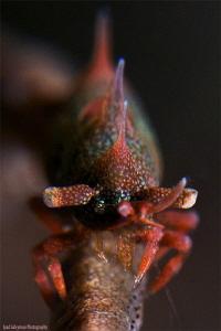 Dragon shrimp by Iyad Suleyman