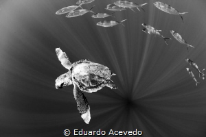 Caretta Carreta turtle in open ocean. by Eduardo Acevedo