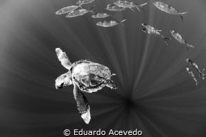 Caretta Carreta turtle in open ocean. by Eduardo Acevedo