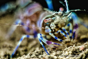 Ghost Shrimp by Marco Gargiulo