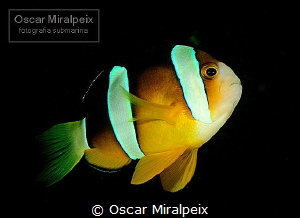 amphiprion by Oscar Miralpeix