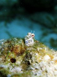 Smug blenny in a hole, Bunaken, Manado. by Dawn Watson