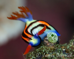Nembrotha Aurea or purpureolineata maybe. by James Deverich