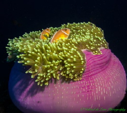 Anemone and Residents by Gabriel De Leon Jr