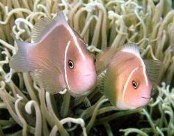 Cute pair of skunk anemone fish on a Bunaken dive site. by Rob Spray