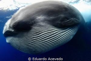 Bryde Whale by Eduardo Acevedo