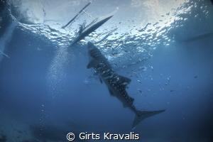 Whale shark,Santander,Philippines by Girts Kravalis