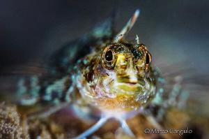 Mediterranean Triplefin goby by Marco Gargiulo