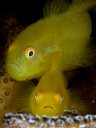 """Yellow couples """"hairy goby"""" by Hon Ping"""