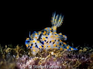 Just Grazin'. Nudibranch - Hypselodoris kanga. Chaloklum,... by Stefan Follows